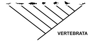 Taxonomy (biology) - The same relationship, expressed as a cladogram typical for cladistics