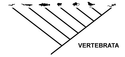 The same relationship, expressed as a cladogram typical for cladistics Cladogram vertebrata.jpg