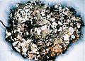 Cladonia turgida.jpg