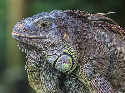 Close-up photograph of an Iguana iguana
