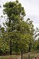 Clove trees North Sulawesi.JPG