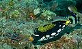 Clown Triggerfish (Balistoides conspicillum) (8499720455).jpg
