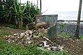 Cochon se nourrissant de déchets à Ribeira Peixe (São Tomé) (2).jpg