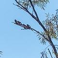 Cockatiel Diamantina Developmental Road Boulia Central Western Queensland P1080652.jpg