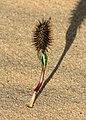 Cocklebur Seedling West Texas 2003 (cropped 2).jpg
