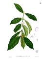 Coffea arabica Blanco1.53.png