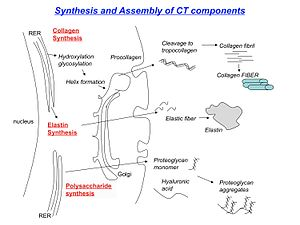 English: Synthesis of collagen, schematic