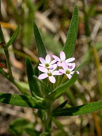 Collomia linearis (1)