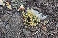 Colobanthus quitensis (H.B.K.) Bart (Caryophyllaceae) (39733512750).jpg