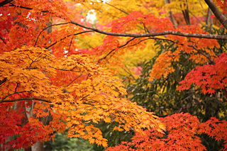 Colorful Leaves in Showa Kinen Park