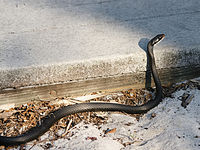List Of Snakes Of Indiana Wikiwand