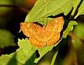 Common Castor Ariadne merione by Dr. Raju Kasambe DSCN0732 (6).jpg