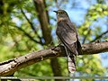 Common Hawk-cuckoo (Hierococcyx varius) (41673298102).jpg