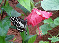 Common Jay (Graphium doson) at IG Zoo Park 02.jpg