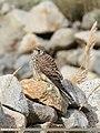 Common Kestrel (Falco tinnunculus) (45048572665).jpg