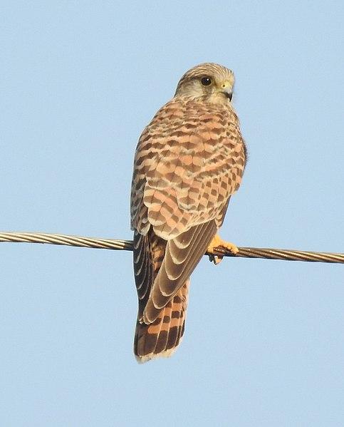 File:Common Kestrel Falco tinnunculus female by Dr. Raju Kasambe DSCN2086 (5).jpg