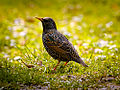 Common Starling (17212083491).jpg