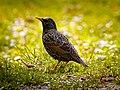 Common Starling (17212083491).jpg