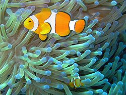 Mutualistic symbiosis between clownfish of the genus Amphiprion that dwell among the tentacles of tropical sea anemones. The territorial fish protects the anemone from anemone-eating fish, and in turn the stinging tentacles of the anemone protects the clown fish from its predators.