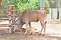 Common eland at Giza Zoo by Hatem Moushir 52.JPG