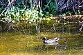 Common gallinule (33350979165).jpg