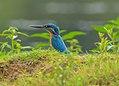 Common kingfisher (Alcedo atthis).jpg