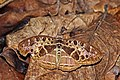 Common pathfinder (Catuna crithea pallidior).jpg