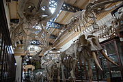 File:Compared Osteology Room La Plata Museum.JPG compared osteology room la plata museum