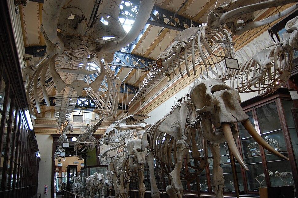 Compared Osteology Room La Plata Museum