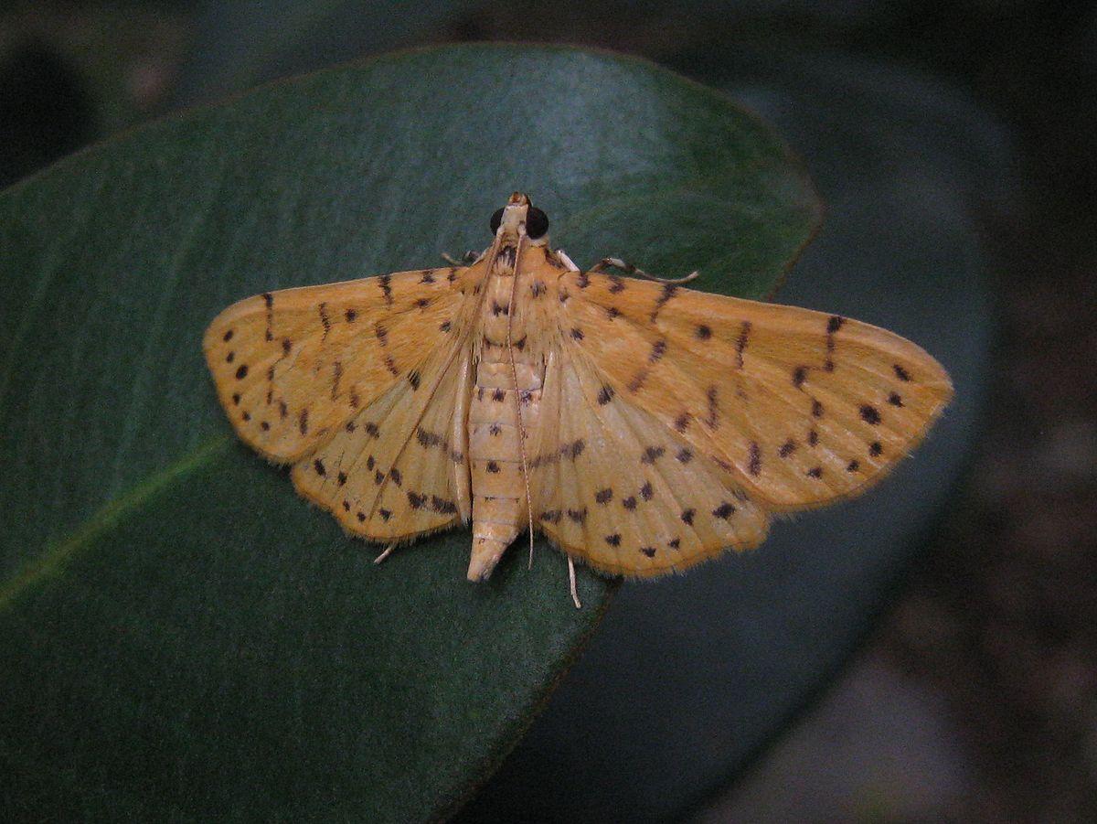 Conogethes Punctiferalis Wikipedia