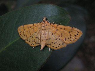 <i>Conogethes</i> Genus of moths