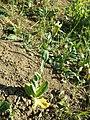 Conringia orientalis sl38.jpg
