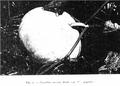 Contardi 1939 - Cucurbita maxima var. C. gigante.png
