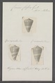 Conus coffea - - Print - Iconographia Zoologica - Special Collections University of Amsterdam - UBAINV0274 086 08 0028.tif