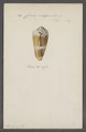 Conus magus - - Print - Iconographia Zoologica - Special Collections University of Amsterdam - UBAINV0274 087 02 0010.tif