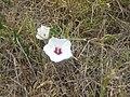 Convolvulaceae flower - panoramio.jpg