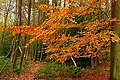 Copper beech in Oveys Wood - geograph.org.uk - 1049221.jpg
