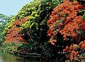 Copperpod with Gulmohar I IMG 2311.jpg