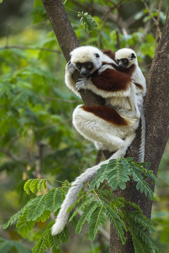 The average litter size of a Coquerel's sifaka is 1