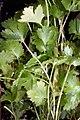 Coriandrum sativum 5zz.jpg
