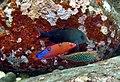 Coris gaimard, Macropharyngodon meleagris.jpg