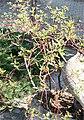Cornus alba sibirica.jpg