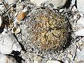 Coryphantha retusa (5736095521).jpg