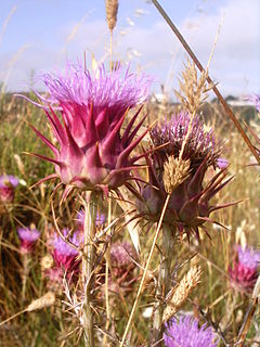 Cardoon species of plant