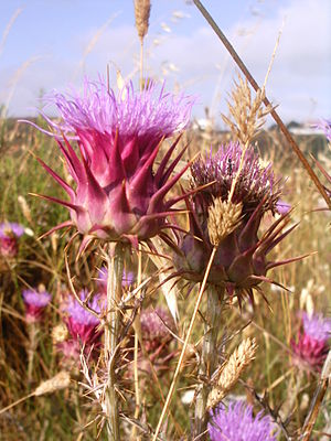 Cardoon - Plants in bloom, Sudoeste Alentejano e Costa Vicentina Natural Park, Portugal