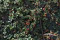 Cotoneaster adpressus GotBot 2015 001.jpg