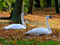 Cottbus, pair of trumpeter swans in Branitzer Park.png