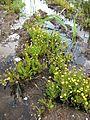 Cotula coronopifolia habit3 (8423190384).jpg