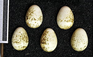 Stubble quail - Eggs, Collection Museum Wiesbaden