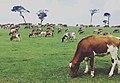 Cows in a farm.jpg